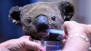 An injured koala being hand-fed by a volunteer.